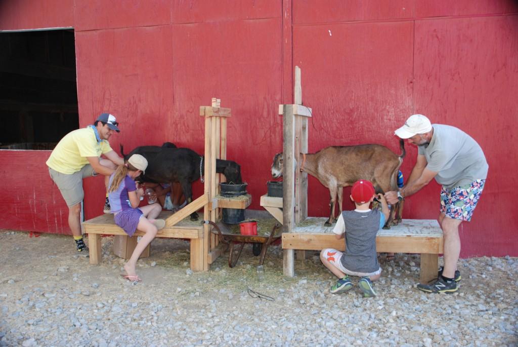 goat milk stand milking stanchion