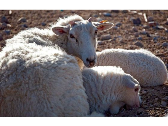 breeds of sheep Gulf coast sheep ewe and lamb