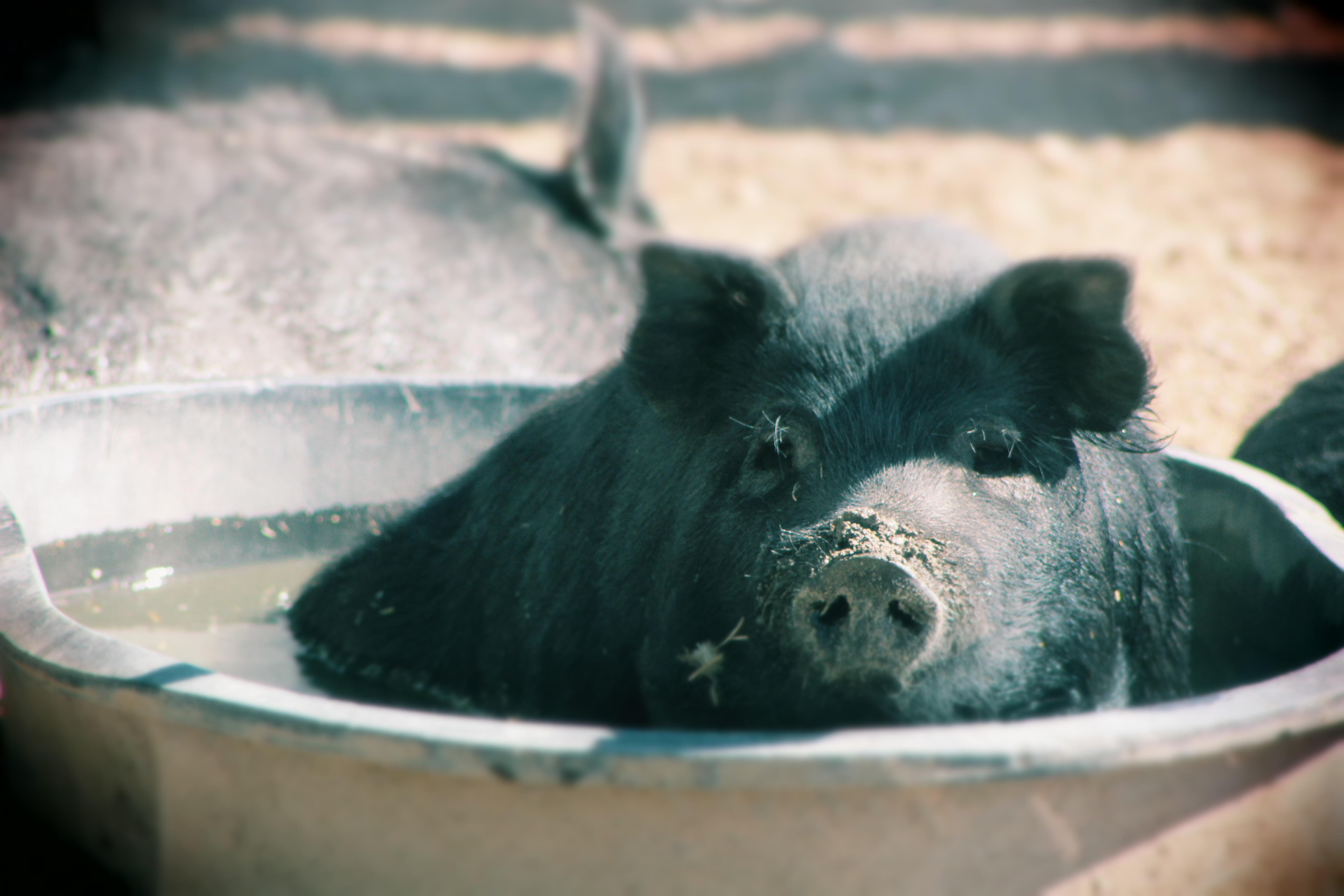 An American Guinea Hog Piglet endangered heritage farm animal