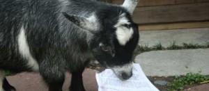 goat 404