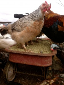 chicken feeder red wagon