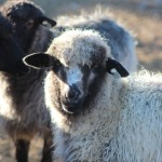 Care of sheep in winter