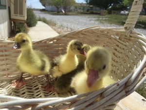 Some of last year's cotton patch goslings