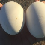 First Cotton Patch Goose Eggs