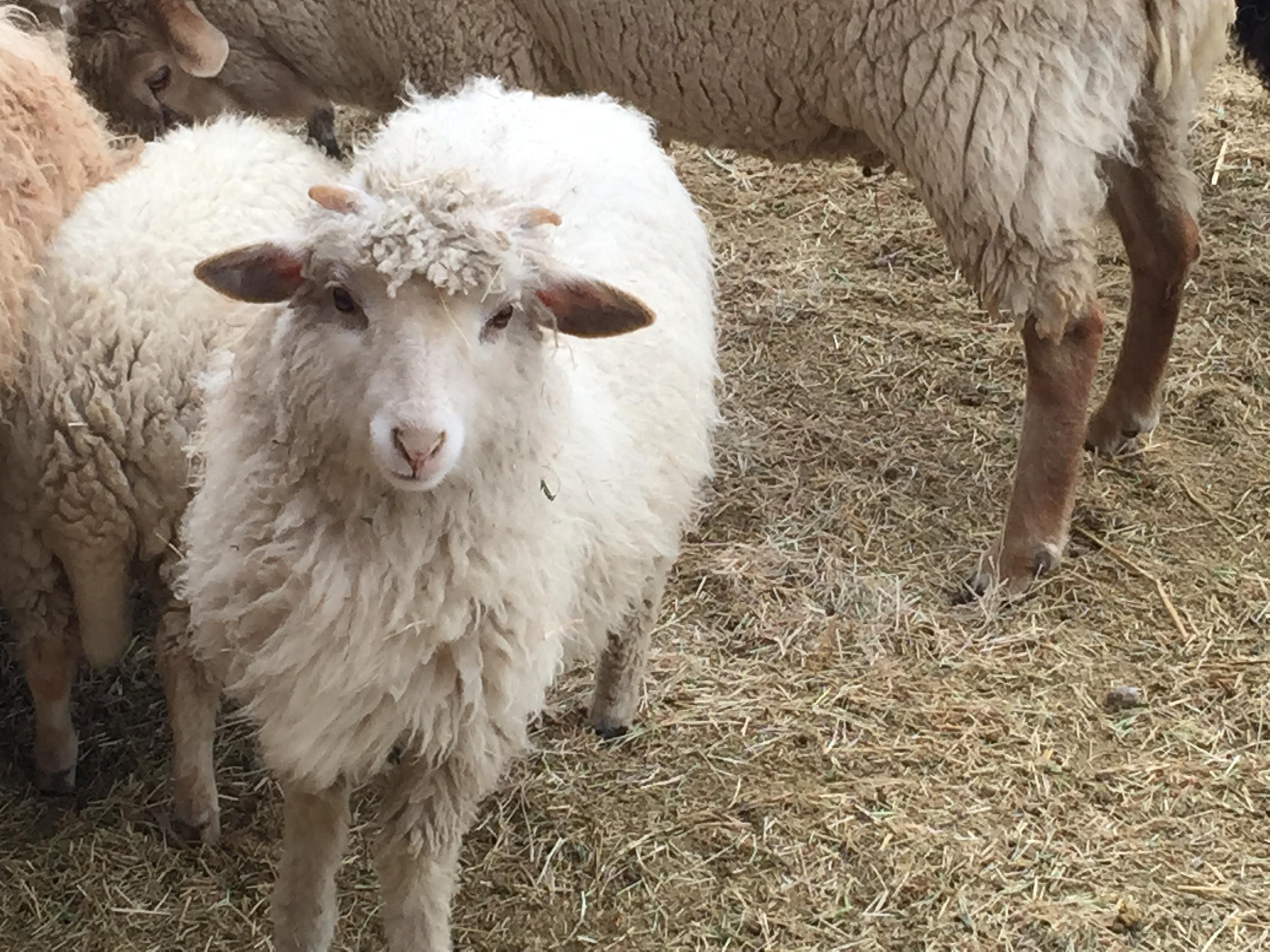 breeds of sheep Navajo Churro sheep