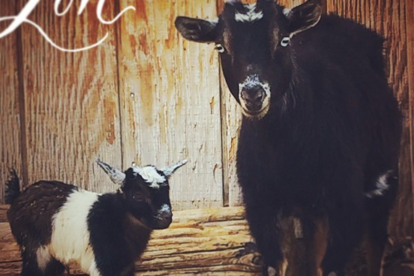baby goat and mother love