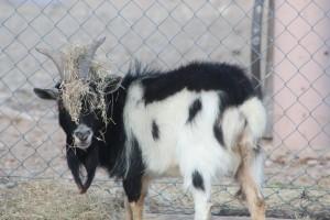 nigerian dwarf buck