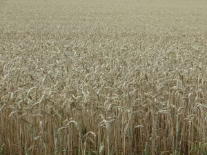 monoculture wheat field