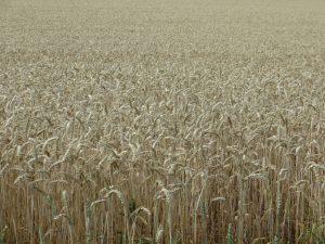 monoculture wheat field