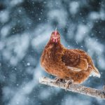 How to feed chickens in the winter: 3 foods that will keep them warm
