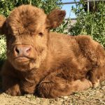 Baby Highland Cows!!  We can't take the cuteness