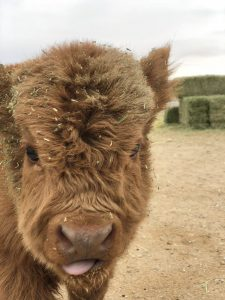 baby highland cow calf sticking out tongue
