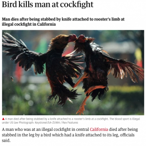 cockfight rooster kills man