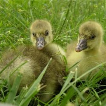 Cotton Patch goslings for sale