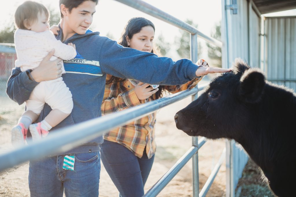 boy with baby petting milk cow calf farm