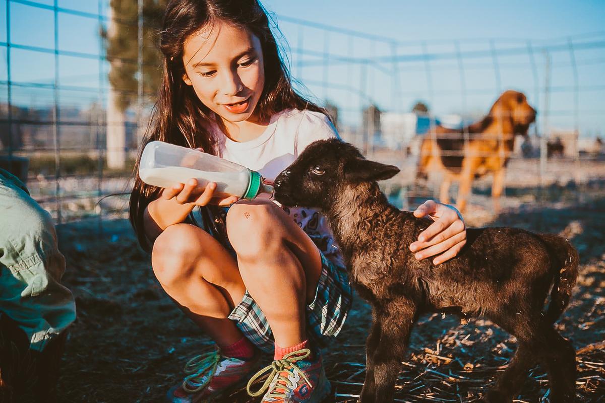 feeding a baby lamb southern California farm