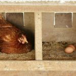Best chicken feed for laying hens
