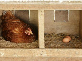 Hen in nest with eggs layer hen