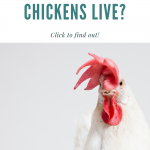 how long do chickens live