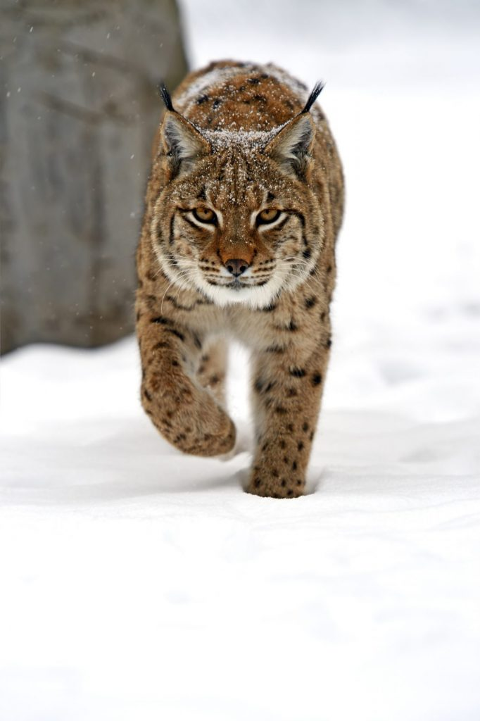 Lynx bobcat chicken predator