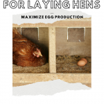 The best chicken feed for laying hens