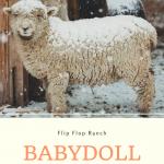 babydoll sheep pin