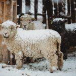 Babydoll sheep: The lovable, huggable Sheep