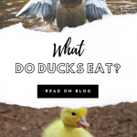 what do ducks eat list