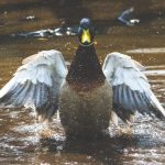 What do ducks eat? The ultimate guide to feeding your duck