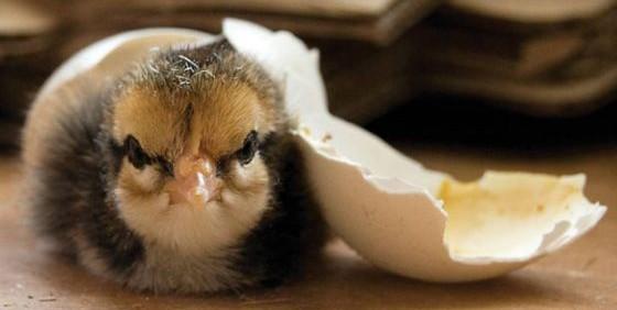 Dorking chick