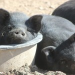 Feeding the pig: How to grow them big