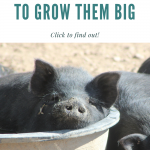 feeding the pig