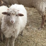 Breeds of sheep: Our Experience with Navajo Churro Sheep