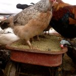 What you should know about giving treats to your chickens