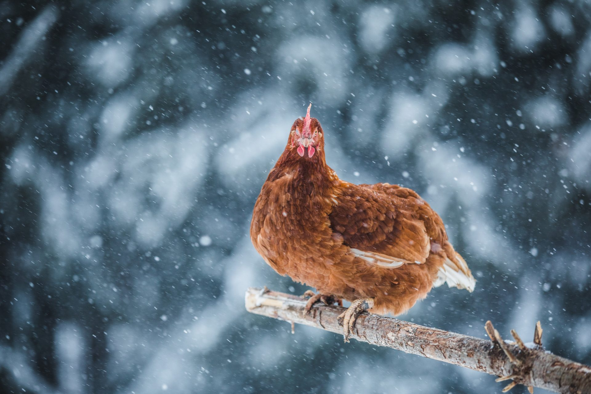 how to feed chickens in the winter chicken in the snow