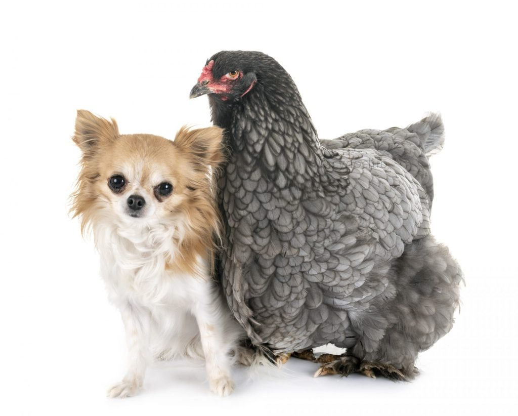 Brahma chicken and chihuahua